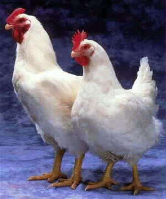 Race de poulets Cornish