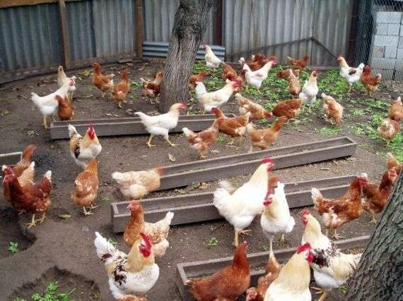 La race des poulets Loman Brown