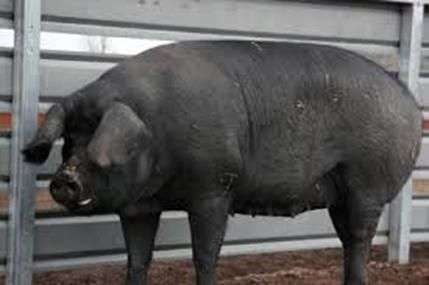 Gros cochons noirs